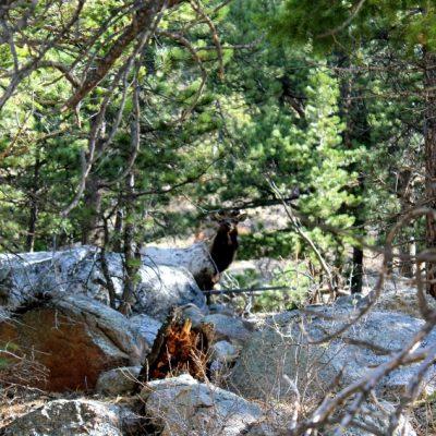 """Лосове, бизони и други диви животни се откриват край пътя в Национален парк """"Rocky Mountains"""", Колорадо, САЩ"""
