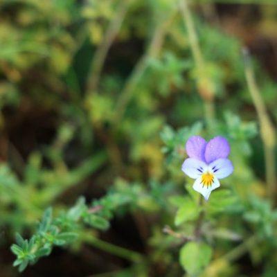 цветята по Екопътека Бели Искър