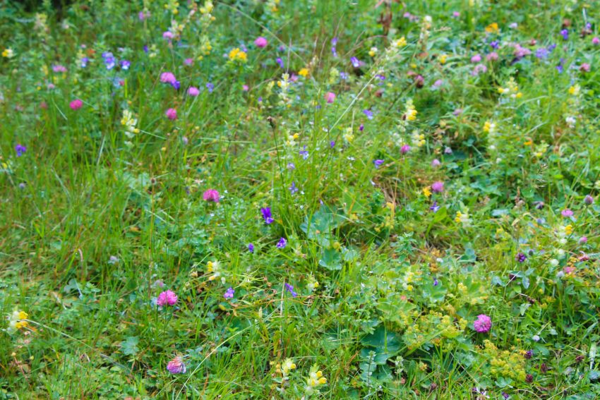 Пътеката от ЦПШ Мальовица до хижа Мальовица изпъстрена сцветя