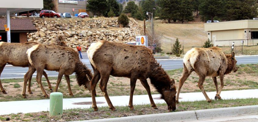 Естъс парк – необикновеният град на лосовете в Колорадо