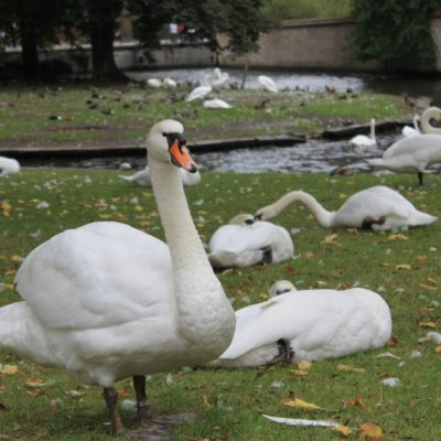 лебеди и патици се разхождат необезпокоявано наоколо